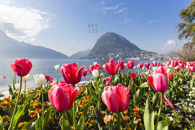 Blooming tulips in front of monte san salvatore at lago lugano, parco civico, spring