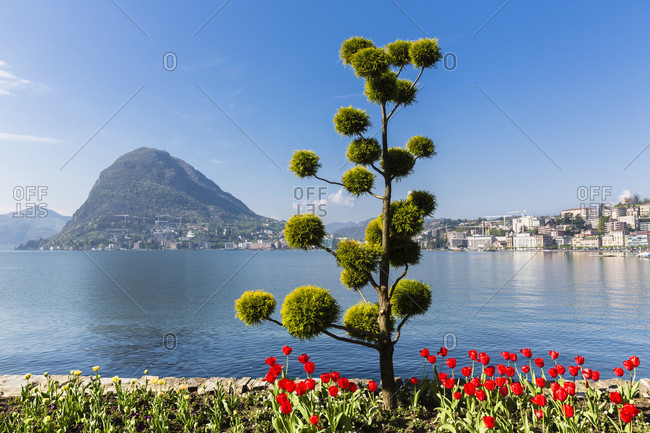 Weirdly shaped conifer tree and blooming tulips in front of monte san salvatore at lago lugano, parco civico, spring