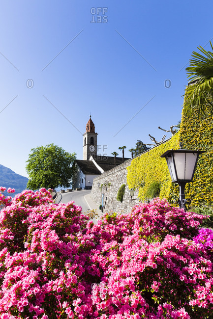 Blooming azalea in front of the parish church san martino high above the lake, spring