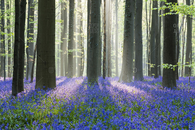European beech forest (fagus sylvatica) and bluebells (hyacinthoides non-scripta) in the spring, hallerbos