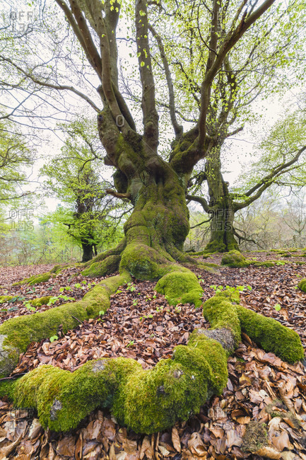 Old beech trees (fagus sylvatica) in early spring in a forest