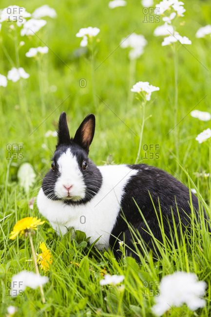 Black and white common dwarf rabbit on grass full of cuckoo flower (cardamine pratensis), spring