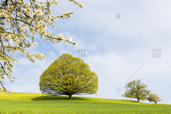 Branch of a wild cherry tree in front of an old oak tree (quercus) on a meadow in early spring