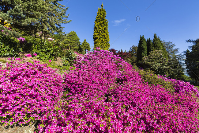 Blooming rhododendron, azaleas and conifers at parco san grato above lago lugano, spring