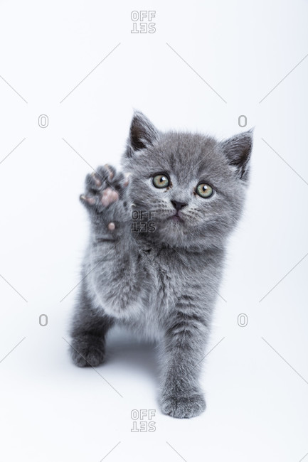 British shorthair cat, blue, kitten, on white background, studio