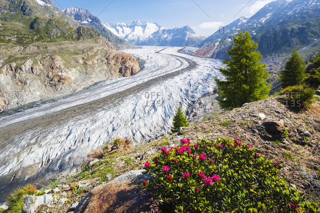 Hairy alpine-rose, alpen rose, alpine rose, alpenrose, snow-rose (rhododendron hirsutum), family of rhododendrons in front of an elevated view of the aletsch glacier, unesco world heritage site, rhone valley