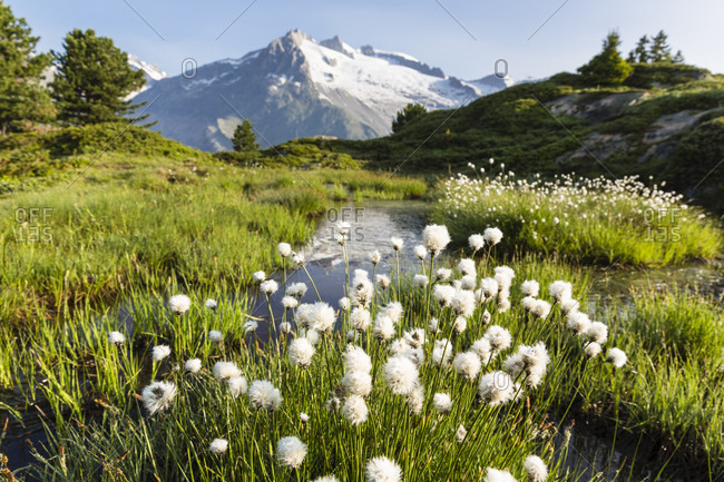 Blooming cotton grass by a pond, swiss alps, aletsch glacier, unesco world heritage, rhone valley