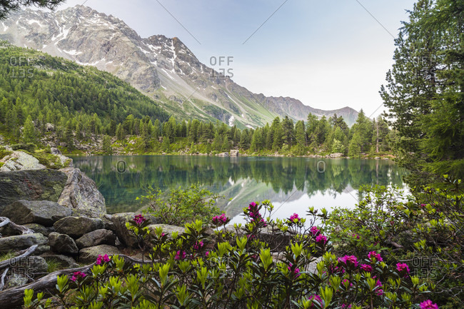 Blooming alpine roses at lake saoseosee surrounded by larch trees, dawn