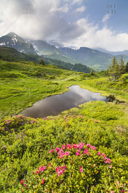 Hairy alpine-rose, alpen rose, alpine rose, alpenrose, snow-rose (rhododendron hirsutum), family of rhododendrons blooming on a alpine meadow by a pond, bernese alps, grosse scheidegg, unesco world heritage site