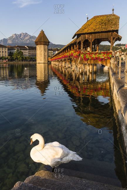 Mute swan (cygnus olor) in front of the famous chapel bridge (kapellbruecke) and water tower over the reuss river