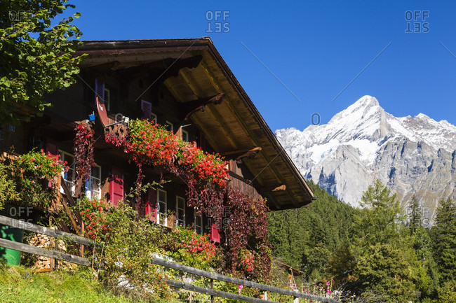 Espalier pear fruit at a chalet in front of mount wetterhorn, bernese alps, unesco world heritage site