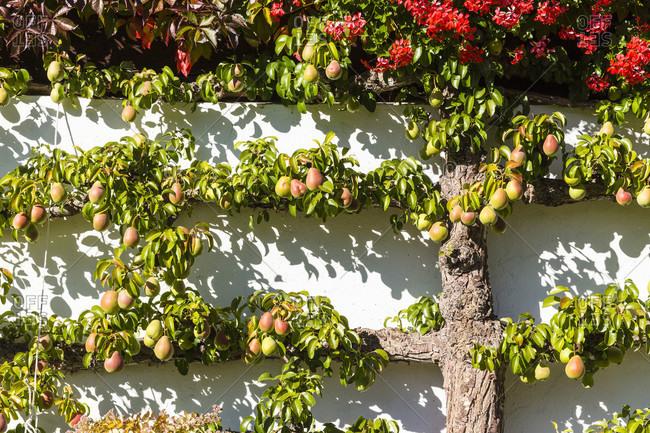 Espalier pear fruit at a chalet, bernese alps, unesco world heritage site