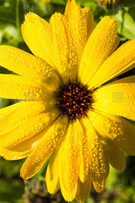 Dew drops on a yellow marigold flower, close-up