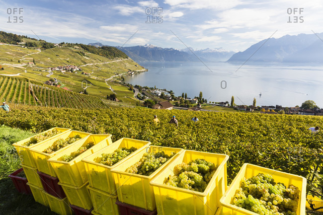 Yellow collecting boxes for wine grapes in the vineyard during a wine harvest near the commune of rivaz above lake geneva, lavaux vineyard terraces, unesco world heritage site