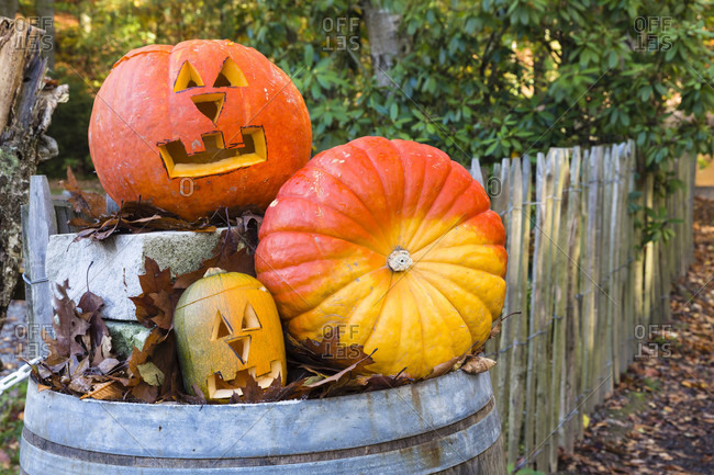 Carved halloween pumpkins in different sizes on a wine barrel as decoration by a garden fence, autumn