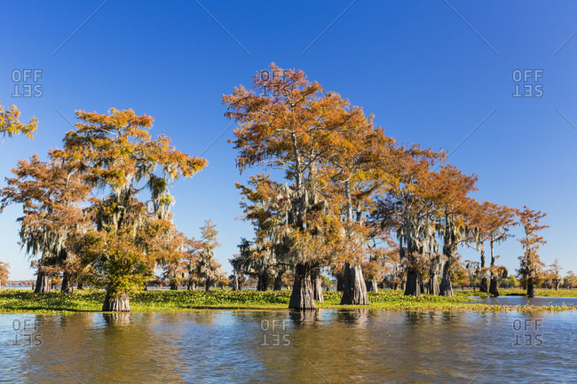 Swamp cypress trees (taxodium distichum) in autum colors on lake henderson, atchafalaya basin