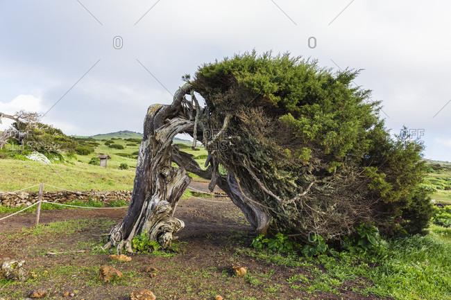 Canary islands juniper tree (juniperus cedrus) with odd shape
