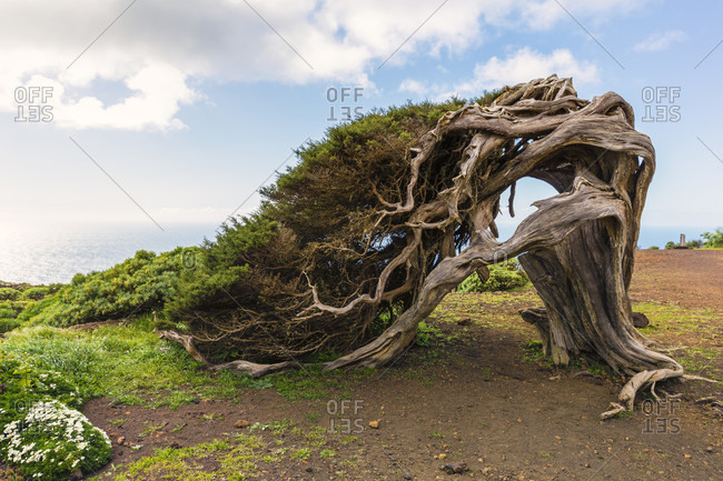 Canary islands juniper (juniperus cedrus), bent by the heavy wind and age, old forest of el sabinar