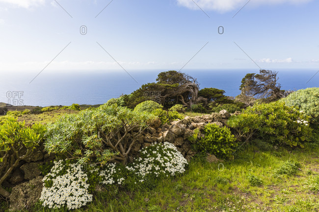 Rich vegetation with euphorbia bushes, dog daisy (leucanthemum vulgare) and canary islands juniper (juniperus cedrus), bent by the heavy wind and age, old forest of el sabinar