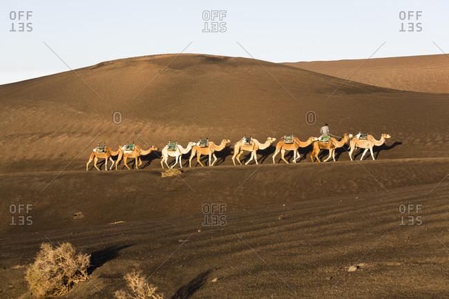 Camel drive at sunrise beautiful landscape