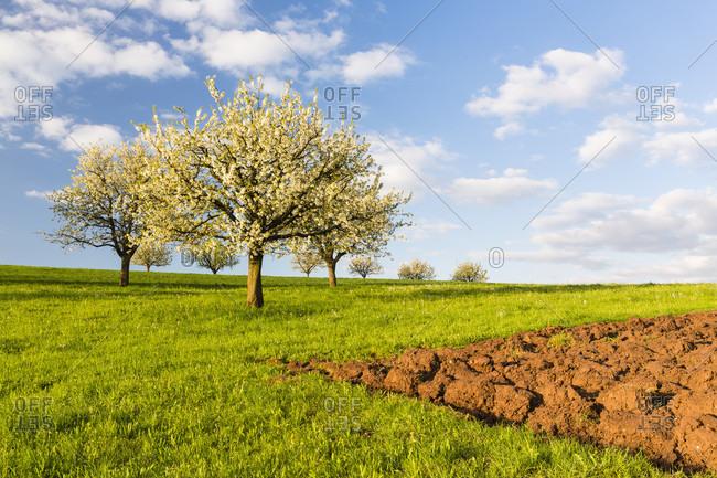 Cherry tree on pasture land