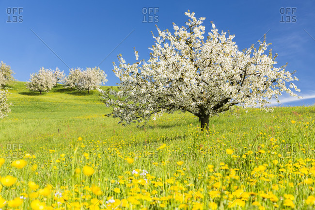 Cherry trees among dandelion flowers (taraxacum officinale)