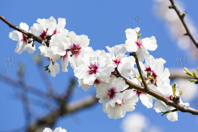 Blooming almond blossoms against the blue sky, detail