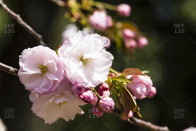 Cherry blooming watching or hanami at shinjuku gyoen national garden