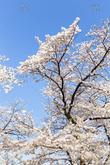 Blooming cherry trees,trees, kitanomaru park near the imperial palace (chiyoda)