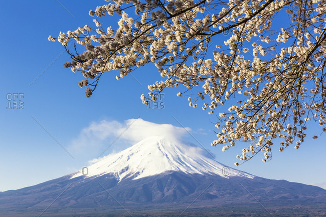 Blooming cherry tree branch at lake kawaguchi in front of mount fuji