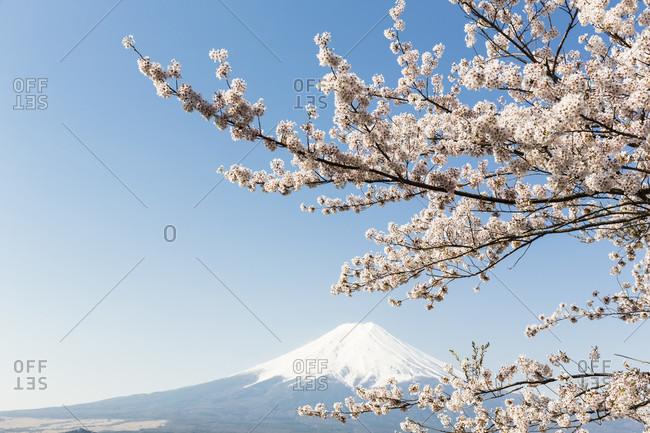 Blooming cherry trees in the hills of fujiyoshida in front of mount fuji, chureito pagoda, arakura-yama sengen-koen park