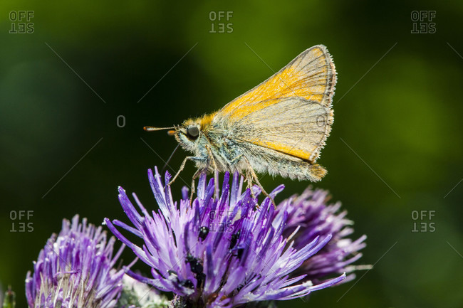 Rust-colored thick-headed butterfly, (ochlodes venatus) on thistle flower.