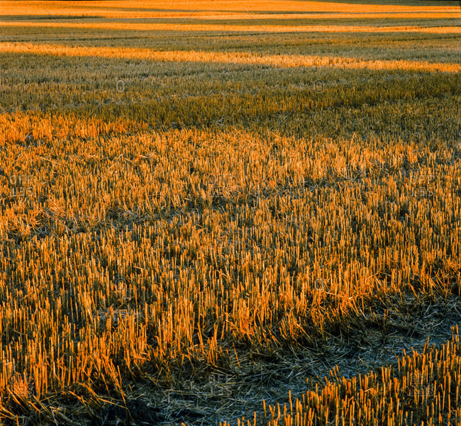 Grain field after the harvest in august, germany.