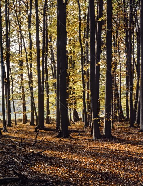 Autumn forest in schleswig-holstain. Wide shot.