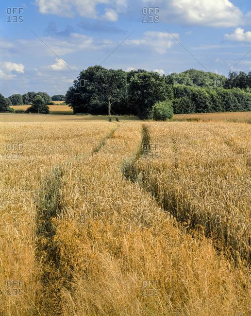 Summer landscape with grain field in schleswig-holstein.