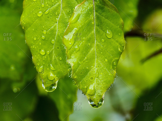 Wet green leaves in rainy weather