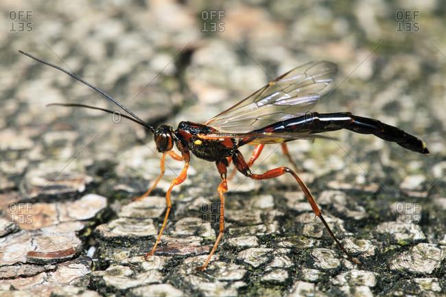 Parasitic wasp (podoschistus scutellaris), hamburg, germany.
