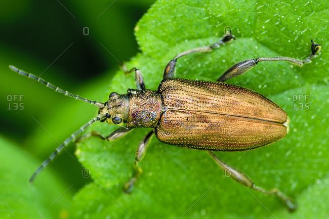 Donacia clavipes / greenish reed beetle