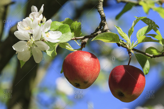 Red apples from last year at the flowering apple tree
