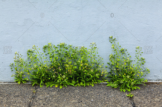 Grass bush on the foundation of a house in reykjavik, iceland