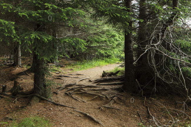 Coniferous forest in iceland, snorrabud,