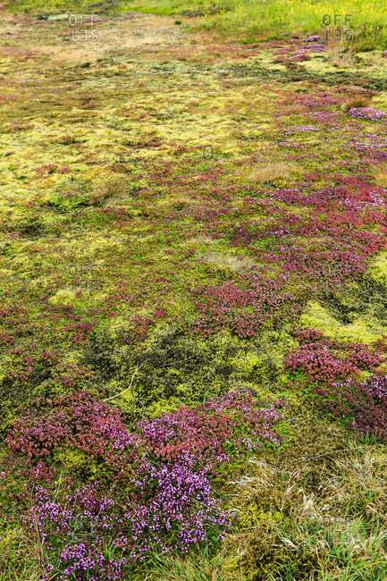 Carpet made of grass and moss in iceland.
