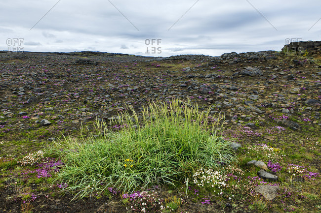 Native plants on the volcanic earth in iceland,