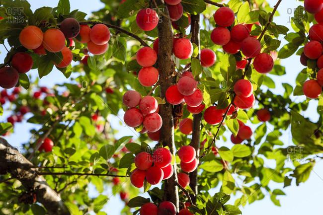 Ripe cherry plums on the tree, bulgaria