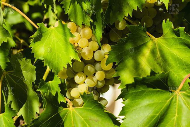 Ripe grapes on the vine, bulgaria