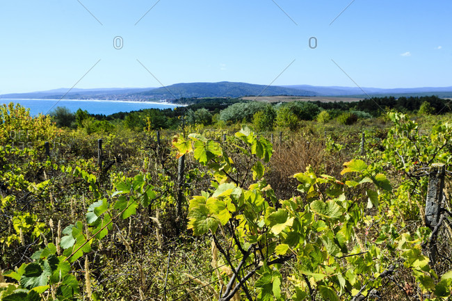 Grapevines in front of the black sea in bulgaria