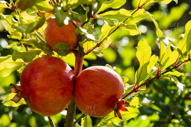 Pomegranate (punica granatum), fruits growing on the tree, obzor, bulgaria.