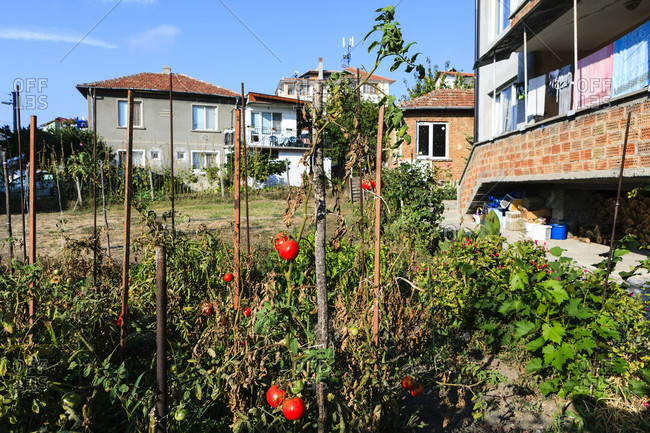 Tomatem growing in the front yard, obzor, bulgaria
