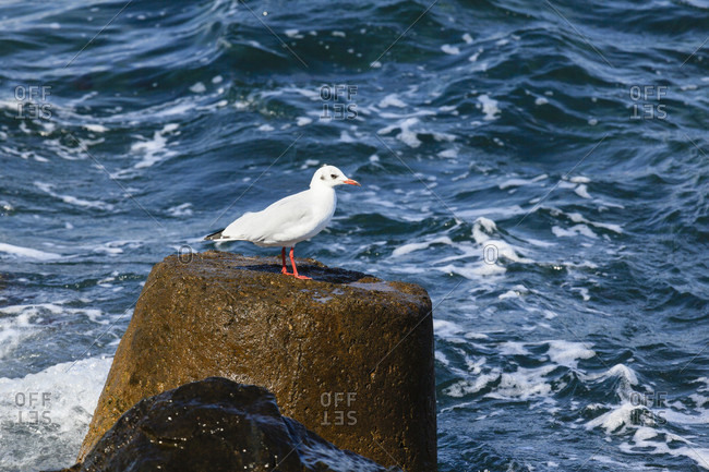 Seagull stands at the concrete breakwater, nessebar, bulgaria