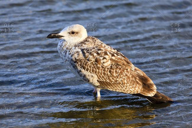 Young seagull, bulgaria. Detailed shot.